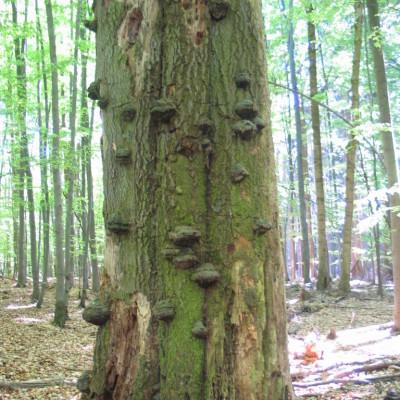 choroše na mrtvém stromě